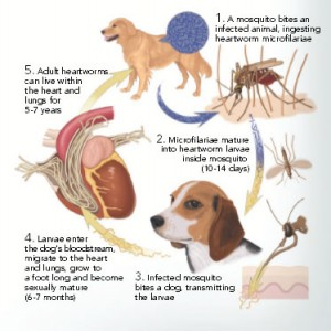 heartworm org chart
